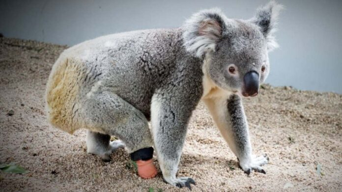 After Prosthetic Makers Said it Couldn't Be Done, Orphaned Koala Gets New Foot Thanks to a Dentist