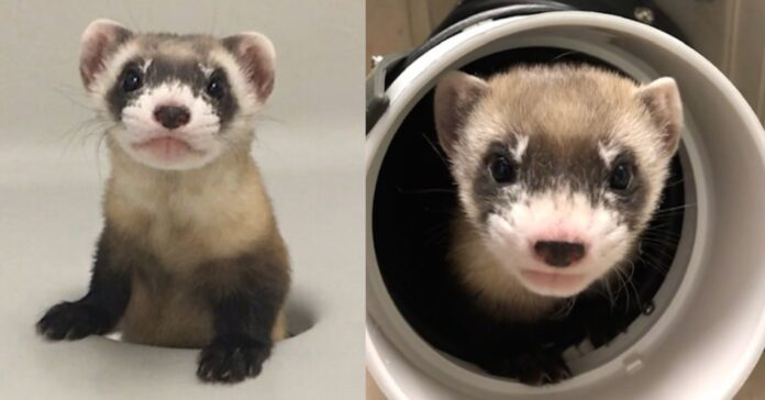 First Cloned Endangered Species in U.S. From Genes Frozen 30 Years Ago Gives Hope For Black-footed Ferret